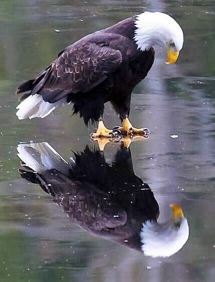 Eagle sees its reflection
